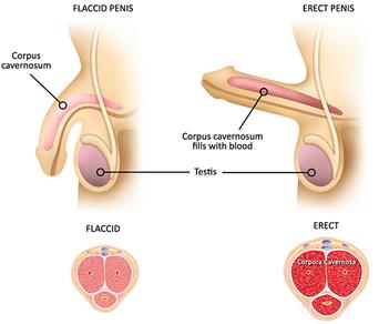erección masculina, droga aurogra